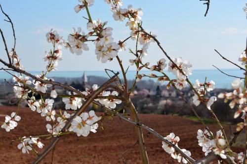 Mandulafa virágzás a Balatonnál
