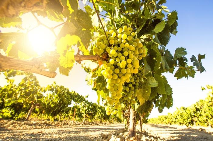 Van igény szőlőtelepítésre a balatoni borvidékeken és van, amiért plusz pont jár